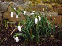 Snowdrops (Laura Nolte) Tags: winter england kewgardens london kew gardens snowdrops botanicgarden springflowers royalbotanicgardens