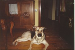 Rufi (Omar Blanco González) Tags: amigo perro cachorro pastor fiel perrita alemán rufi