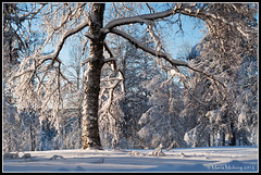 Tree (mmoborg) Tags: winter snow cold landscape kyla vinter sweden birch sverige sn dalarna 2012 landskap bjrkar koppngen thepinnaclehof kanchenjungachallengewinner tphofscore5019 mmoborg mariamoborg tphofweek133 thepinnacle20120118