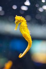 seahorse (WetCraft) Tags: sea seahorse marinelife