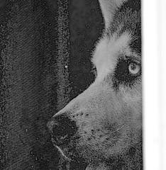 GNC_0036_2.jpg (GButterfly) Tags: dog face husky explore kansas strider 494 explored stormnight inmyownbackyard
