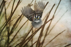Rise Up. (Distressed Jewell) Tags: distressed riseup whitethroatedsparrowthanksdianepaintedwhisperstexture