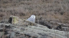 snowy owl 2 (dtrickle69 (Dan)) Tags: video nikon owl boundarybay visitors rarity d7000 sigma150500 sowyowl d7000video coolvisitors