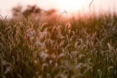 Beauty of evening sunlight... (Navaneeth K N) Tags: light sunlight abstract grass canon landscape evening 28135 calicut eveningsunlight navaneeth flickraward vallikkunnu navaneethkn