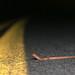 Cave Salamander Crossing the Road