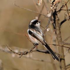 Codibugnolo (giansacca) Tags: birds animals tit aves uccelli mito animaux animali topic vogel oiseaux msange longtailedtit aegithaloscaudatus schwanzmeise msangelonguequeue codibugnolo