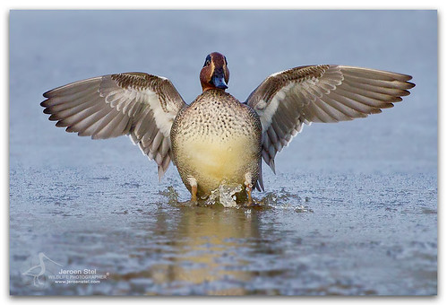 Common Teal-Anas crecca