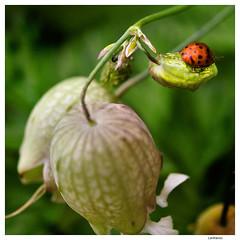 .. (Lanfranco Brugnoli) Tags: flower macro square ladybug fiore quadrato coccinella macrolife