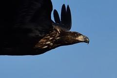 Close Up Eagle D7K_4242 (Mully410 * Images) Tags: bird birds river eagle birding baldeagle mississippiriver birdsinflight birdwatching birder raptors birdofprey wabasha lakepepin burdr afsnikkor500mmf4gvr