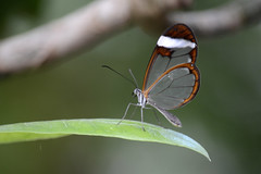 Glasswinged butterfly (Rene Mensen) Tags: orange butterfly nikon lepidoptera mariposa greta schmetterlinge oto gretaoto espejitos 鱗翅目 brushfootedbutterfly 나비목 チョウ目 glasswinged glasvleugel d5100 renemensen