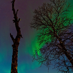 Aurora light over the tree tops (Per Ivar Somby) Tags: birch bjrk nightsky nordnorge auroraborealis troms nordlys bjrk northernlight northernnorway polarlight polarlys stakkevollan