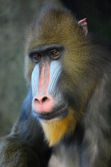 Mandrill (Mark...L) Tags: zoo ngc milwaukee mandrill milwaukeecountyzoo mandrills specanimal nikond40 zoosofnorthamerica naturesgreenpeace allofnatureswildlifelevel1 allofnatureswildlifelevel2 allofnatureswildlifelevel3 allofnatureswildlifelevel4 allofnatureswildlifelevel5 allofnatureswildlifelevel8 allofnatureswildlifelevel6 allofnatureswildlifelevel7 allofnatureswildlifelevel9 iloveallofnatureswildlifelevel4 flickrsfinestimages1 flickrsfinestimages2 flickrsfinestimages3 sunrays5 iloveallofnatureswildlifelevel2 iloveallofnatureswildlifelevel3