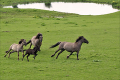 Playing Konik Horses (Foto Martien (thanks for over 2.000.000 views)) Tags: horse holland netherlands dutch caballo cheval arnhem flock nederland naturereserve rhine herd pferd rijn a100 paard uiterwaarden tarpan gelderland meinerswijk betuwe konik floodplain natuurgebied natuurreservaat kudde sigmaapomacro70300 smallhorse arnhemzuid sonyalpha100 konikpolski martienuiterweerd polishprimitivehorse martienarnhem mygearandme mygearandmepremium martienholland mygearandmebronze mygearandmesilver mygearandmegold mygearandmeplatinum mygearandmediamond semiwildpony kleinpaard halfwildepony zuidelijkarnhem europeanwildhorse dblringexcellence fotomartien tplringexcellence eltringexcellence europeeswildpaard polskarasakoni