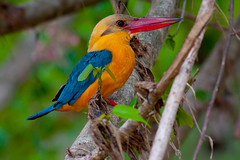 Stork Billed Kingfisher (globetrotting_pg) Tags: storkbilledkingfisher