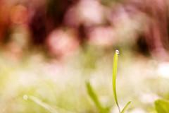 Una gota - One drop (Ana MD) Tags: light red verde green luz water colors grass canon rojo agua bokeh drop gravity edge desenfoque droplet gota hierba gravedad lmite csped borde