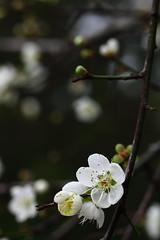 IMG_6049 (Sandor's Album) Tags: flowers flower blossom plum hsinchu taiwan       nationaltsinghuauniversity drmeimemorialgarden