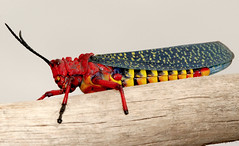 Red Grasshopper (Phymateus morbillosus) (cowyeow) Tags: africa red macro toxic bug insect southafrica desert farm african wildlife insects bugs safari grasshopper poison poisonous northerncape noxious loeriesfontein phymateusmorbillosus redgrasshopper phymateus morbillosus rooisprinkhaan rodesprinkhaan