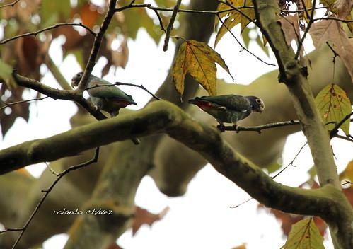 Loro Corona Blanca. Pionus senilis. White-crowned Parrot.