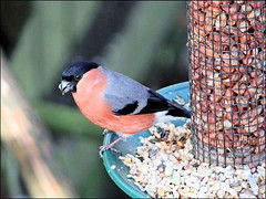 Bullfinch male (Judy's Wildlife Garden) Tags: bullfinchmale judykennett knightonpowys