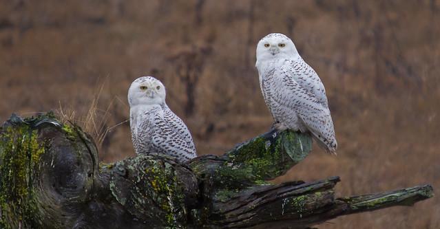 SNOWY OWL-9