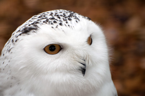 Snowy Owl Close-up by Harlequeen, on Flickr