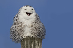 Snowy Owl Yawning - Harfang des neiges - Bubo scandiacus (Paul B Jones) Tags: white snow ontario canada bird nature smile goofy smiling laughing ottawa yawn owl laugh cartman invasion oiseau anthropomorphism yawning snowyowl casselman hibou ookpik whiteowl buboscandiacus harfangdesneiges ukpik
