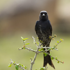 The Aggressive Black Drongo! (VinothChandar) Tags: portrait india black bird nature look forest canon photography photo eyes photos pics wildlife flight picture reserve fast crow aggressive chennai tamilnadu furious territory threaten drongo siruthavur