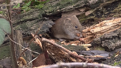 Bank Vole (John (Gio) * OVER 100,000 VIEWS *) Tags: nature mammal kent wildlife gio smallmammal bankvole muridae clethrionomysglareolus