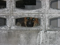 cujo (the foreign photographer - ) Tags: dog wall thailand eyes shepherd bangkok guard german glowing bangkhen