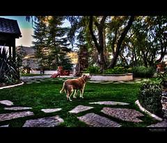 if such a place exists... (elmofoto) Tags: dog landscape golden retriever terrier hdr highdynamicrange wheaten 1000v fav10 tonemapping dogheaven elmofoto lorenzomontezemolo