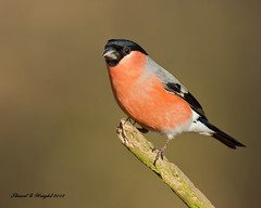 Male Bullfinch (Stuart G Wright Photography) Tags: bird birds wildlife bull finch cannock chase bullfinch stuartgwrightcom
