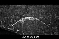 Gull in flight (bonksie61) Tags: trees chimney bw ariel flying blackwhite gull feathers naturesbest enjoylife artphotography yabbadabbadoo beautifulshot flickrstar flickraward almostanything allin1 shiningstar naturelimited bwtheartofphotography royalgrup flickriannorules