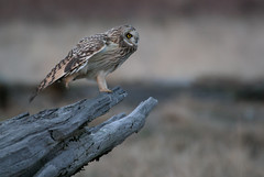 Short-eared Owl 02 (sgbaughn) Tags: shortearedowl birdperfect