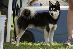 Zeus (Alexandra Kimbrough) Tags: show california dog miniature husky mini stack kai nordic claremont northern klee alaskan ukc conformation akk