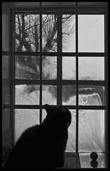WATCHING ICE FLOWERS (LitterART) Tags: tree ice window cat austria chat heaven frost farm fenster hell katze eis baum steiermark fenetre styria eisblumen iceflowers famrhouse stererich