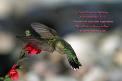 Hummingbird Quote by John Tabb (Sharon's Bird Photos) Tags: