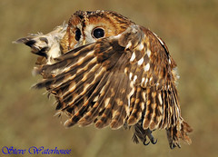 Tawny Owl . (spw6156 - Over 4,071,255 Views) Tags: copyright steve  some stuff owl older waterhouse tawny reworked