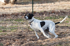 """Week 13. The Many Faces of Bonnee (imaginethat) Tags: dog pet canon march play bonnee fetch 70200mm 2014 illinois"""" """"5dmarkii"""" """"englishpointer"""" """"themanyfacesofbonnee"""" """"duquoin 033014 2014week13"""