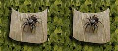 Salticus scenicus - Zebra Jumper - Jumping Spider Macro 1 Cross-eye 3D (DarkOnus) Tags: macro closeup manipulated insect lumix spider stereogram 3d crosseye pennsylvania stereography buckscounty jumpingspider crossview dmcfz35