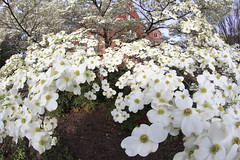 Dogwood in front of Ginter House