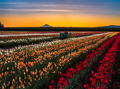 Pre-sunrise at the Wooden Shoe Farm (GeorgeOfTheGorge) Tags: panorama tractor oregon mthood april woodburn verticalstitch woodenshoetulipfarm presunrise nikkor85mmpce 3framepano