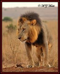 KING OF THE JUNGLE (Panthera leo)....NAIROBI NAT.PARK......OCT 2013 (M Z Malik) Tags: africa nikon leo kenya wildlife ngc safari npc nairobinatpark d3x flickrbigcats exoticafricancats exoticafricanwildlife 200400mm14afs