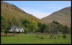 Deer on the Golf Course (zweiblumen) Tags: uk nature golf mammal scotland alba wildlife isleofarran reddeer lochranza polariser cervuselaphus northayrshire eileanarainn canoneos50d zweiblumen lochraonasa