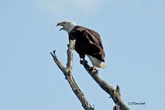 DSCN0283 american bald eagle (starc283) Tags: bird nature eagle wildlife birding baldeagle raptor americanbaldeagle starc283