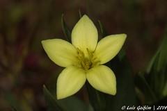 Centaurium maritimum (L.) Fritsch (Lus Gaifm) Tags: flower macro planta nature natureza flor plantae mindelo gentianaceae centauriummaritimum centureamarinha gencianadapraia lusgaifm