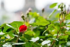 Red Rose (margaretsdad) Tags: city uk red green colors rose river germany scott scotland edinburgh colours riverside redrose cologne rhine koln barron midlothian d7100 scottbarron