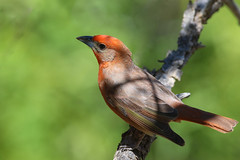 Hepatic tanager (geno k) Tags: tanager sierravista carrcanyon hepatictanager 4302016