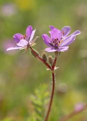 Small unidentified pink wild flower (Graham Dash) Tags: flowers macro surrey cobham wildflowers painshillpark painshill tamron90mm28macro