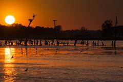 Cormorants Sunset (arturry) Tags: trees sunset sky bird nature birds sunrise cormorants ngc cormorant deadtrees kormoran cormorantssunset