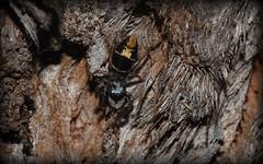 Apricia jovialis (dustaway) Tags: nature australia nsw arthropoda arachnida araneae jumpingspiders salticidae araneomorphae australianspiders northernrivers tullera barkjumpingspider spideronbark apriciajovialis tullerapark